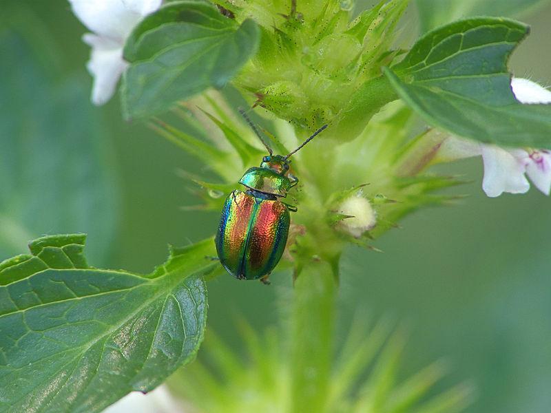 File:Chrysolina fastuosa, hennepnetelgoudhaantje (7).jpg