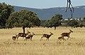 Ciervos en la raña de Cabañeros.jpg