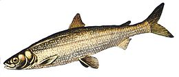 Cisco whitefish
