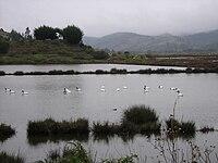 Cisnes en Cahuil.JPG