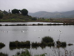 Swans in Cáhuil