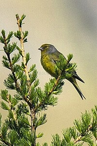 Citril Finch - Aosta Valley - Italy H8O8036 (23051182591).jpg