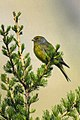 Citril Finch - Aosta Valley - Italy H8O8036 (23051182591).jpg