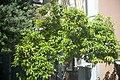 Citrus aurantium - Bigaradier.jpg