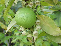 Pomarańcza olbrzymia
