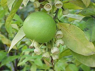 Meizhou - Pomelos