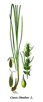 Cleaned-Illustration Carex otrubae.jpg