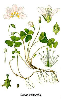Waldsauerklee (Oxalis acetosella), Illustration