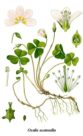 alt=Description de l'image Cleaned-Illustration Oxalis acetosella.jpg.