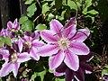 Clematis cultivar 01.jpg