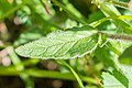 Clinopodium vulgare in Chablais (4).jpg