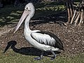 Clontarf Pelican following his shadow-1 (7635958676).jpg