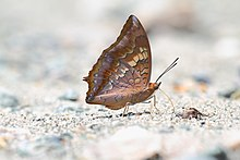 Close wing position of Charaxes bernardus Fabricius, 1793 – Tawny Rajah UN.jpg