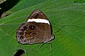 Close wing position of Lethe verma Kollar, 1844 – Straight-banded Treebrown WLB DSC 9968.jpg