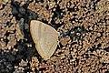 Close wing puddling of Rapala varuna Horsfield, 1829 – Indigo Flash WLB DSC 0223.jpg