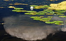 water lilies and one blossom on lake surface