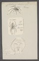 Clubiona - Print - Iconographia Zoologica - Special Collections University of Amsterdam - UBAINV0274 068 06 0010.tif