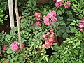 Cluster flowered rose from Lalbagh flower show Aug 2013 8479.JPG