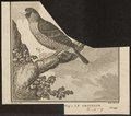 Coccothraustes spec. - 1700-1880 - Print - Iconographia Zoologica - Special Collections University of Amsterdam - UBA01 IZ15900207.tif