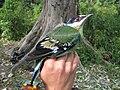 Cochoa viridis.jpg