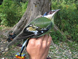 Green cochoa - A female green cochoa; note the characteristic rufous tinge on the wing panels