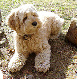 Cockapoo Puppies on Cockapoo   Wikipedia  The Free Encyclopedia