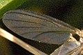 Coelosia tenella wing detail.jpg