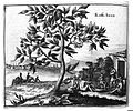 Coffee Tree, in Olfert Dapper Wellcome L0011012.jpg
