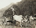 Collectie Nationaal Museum van Wereldculturen TM-60062003 Landarbeiders afkomstig uit India met een ossenkar Trinidad fotograaf niet bekend.jpg