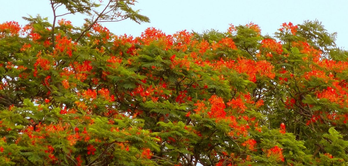 File:Colorful flower of Butea (Palash).jpg - Wikimedia Commons