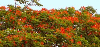 Colorful flower of Butea (Palash).jpg