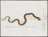 Coluber guttatus - 1700-1880 - Print - Iconographia Zoologica - Special Collections University of Amsterdam - UBA01 IZ12100255.tif