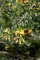Colutea cilicica - Floraison.jpg