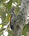 Common Flameback (Dinopium javanense javanense) - preparing to take off - Flickr - Lip Kee.jpg