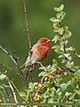 Common Rosefinch (Carpodacus erythrinus) (32722252381).jpg