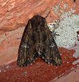 Common Rustic. Mesapamea secalis - Flickr - gailhampshire (9).jpg
