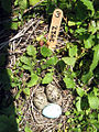 Common Tern Nest with Three Eggs (2) (3593033259).jpg