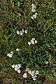 Common Yarrow (Achillea millefolium) - Oslo, Norway (01).jpg