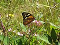Common brown butterfly on Common centaury (5359478297).jpg