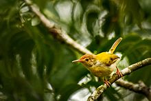 Common tailorbird.jpg