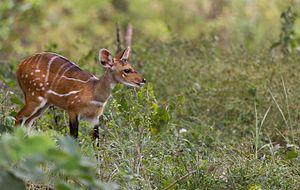 Comoé National Park - Bushbuck foraging next to the Comoé Research Station