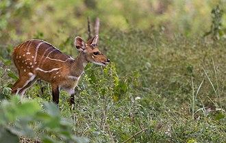 Comoé National Park - Bushbuck foraging next to the Comoé Research Station