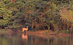 A bushbuck stands in a calm river browsing on the thick vegetation along the shore.