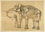 Comparative view of the human and elephant frame, Benjamin Waterhouse Hawkins, 1860.jpg