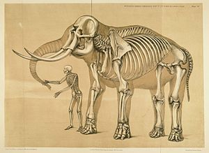 Anatomy - Human compared to elephant frame. Benjamin Waterhouse Hawkins, 1860