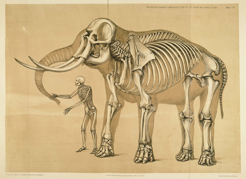 Comparative view of the human and elephant frame, Benjamin Waterhouse Hawkins, 1860