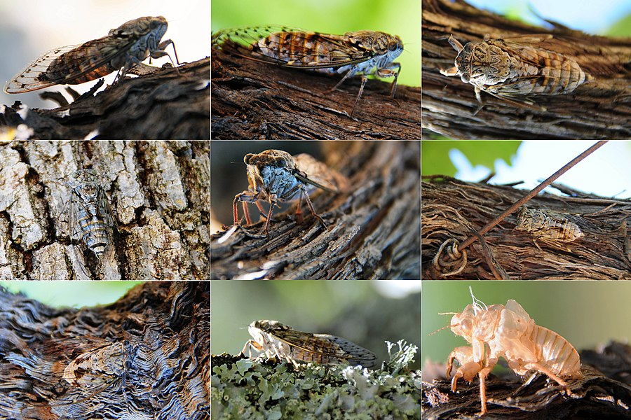 Composition from 9 pictures of a Cigale. They are very difficult to discover, altough they tsirp very loud!!