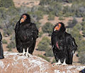 Condors on the Rise (15336131746).jpg