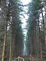 Conifer plantation, Savernake Forest, Marlborough - geograph.org.uk - 297779.jpg