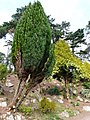 Conifers, Oldway mansion, Paignton - geograph.org.uk - 696640.jpg